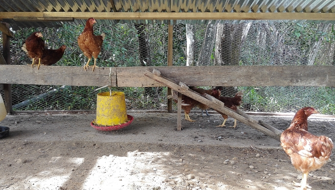 Chickens whose eggs are for sale