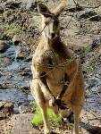 Kangaroo Scenic Rim Queensland rural wildlife golf