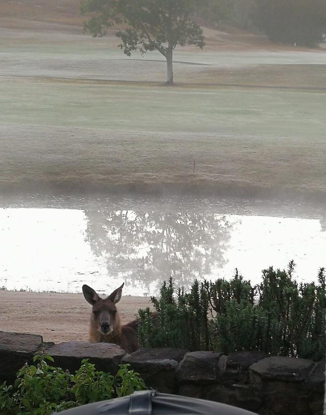 Kangaroo Scenic Rim Queensland wildlife